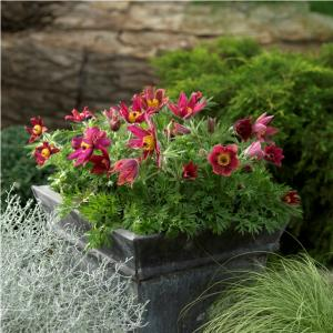 Pulsatilla vulgaris Pinwheel Dark Red Shades