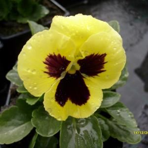 Viola wittrockiana Delta F1 Yellow with Blotch