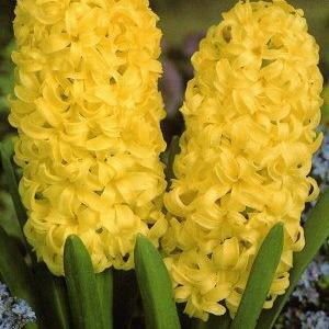 Hyacinthus Yellow Queen