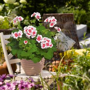 Pelargonium Zonale Americana White Splash