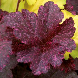 Heuchera hybrida Midnight Rose