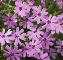 Phlox subulata Fort Hill