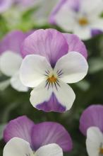 Viola cornuta Rocky F1 White with pink wing
