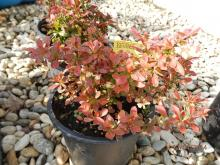Berberis Red