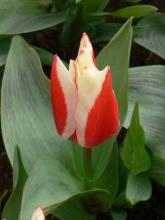 Tulipa Perfectionist