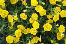 Calibrachoa MiniFamous Double Yellow