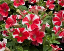 Petunia cultivars Famous Red Star