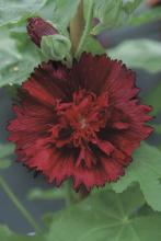 Alcea rosea Spring Celebrities Crimson