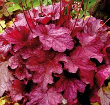 Heuchera hybrida Berry Smoothie