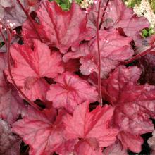 Heuchera hybrida Fire Chief